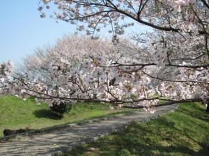 宮川河川敷の桜
