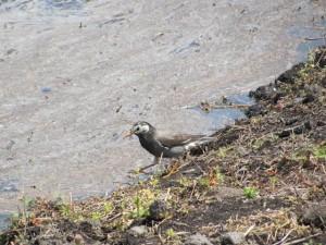 畔で戯れる小鳥