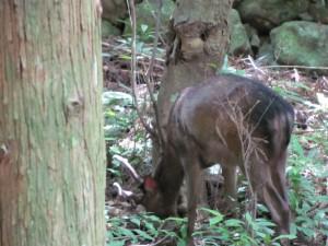 参道から数メートルに鹿