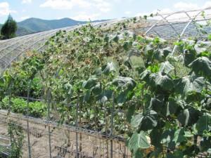 野菜の収穫体験(ふるさと村)