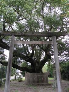 御塩道(「神の木」大楠)