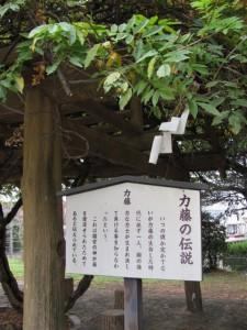 力藤(離宮院公園)