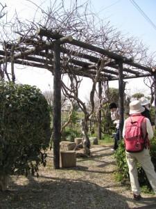 藤の棚(市座神社から大和神社へ)