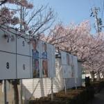 桜(新開児童公園)