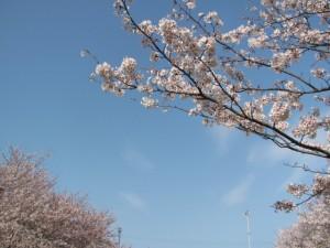 桜(王中島公民館)