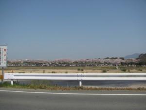 宮川堤(右岸)の桜を望む