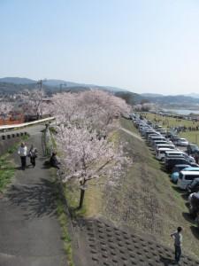度会橋から宮川堤(右岸)の桜を望む