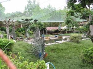 市民の森公園の孔雀