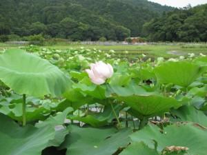 蓮の花(民話の駅 蘇民)