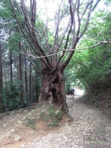 十六町から十五町へ下る途中の枯木 - 朝熊岳道