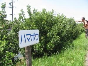 ハマボウ(勢田川右岸)