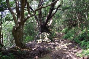 達磨坐姥目樫石 - 青峰道(松尾道)