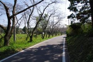 桜並木(亀ヶ広古墳付近)