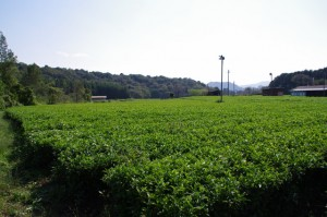 茶畑(亀ヶ広古墳?)