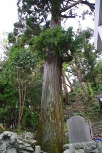 老杉(賀多神社)