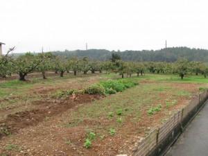 蚊野神社付近の柿畑