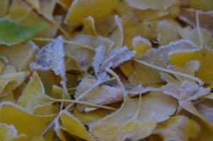 霜が降りたイチョウの葉