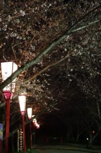 夜桜(宮川堤)