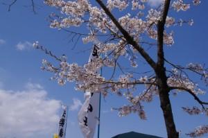 桜(せんぐう館開館奉祝 伊勢楽市にて)