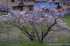 桜を描く絵描きさん(宮川堤)