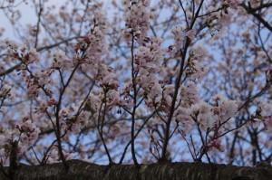 桜(宮川堤)