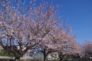 桜(御薗橋跡付近)