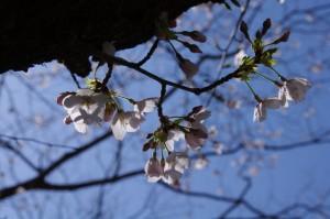 桜(田丸城址)