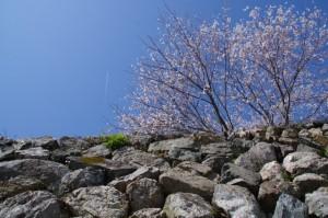 桜と飛行機(田丸城址)