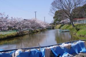 桜(田丸城址の外堀)
