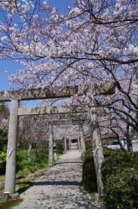 桜(有田神社)