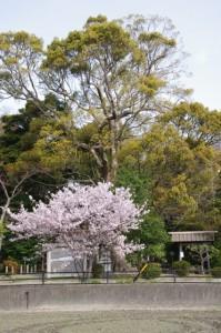 桜(箕曲神社)