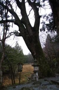 真福院の大欅(おおけやき)