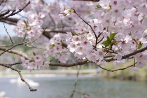 桜と雲出川(リバーパーク真見)