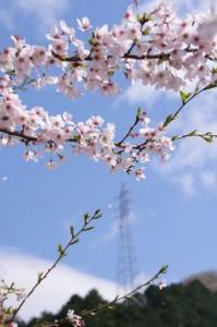 桜(リバーパーク真見)