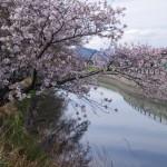 桜(桧尻川、ぎゅーとらSCハイジー店付近)