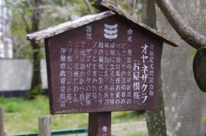 オヤネザクラ(国史跡 旧豊宮崎文庫)