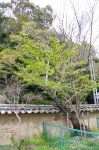 桜(国史跡 旧豊宮崎文庫)