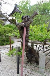 瑞光寺の権現柿(6)