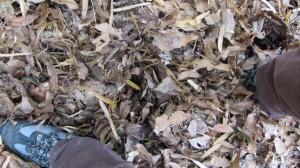 足が埋まるほどの多量の落ち葉