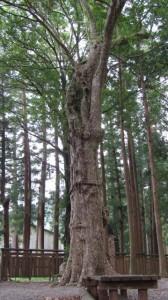 春日様ゆかりの鹿子(カゴ)の木(水屋神社)