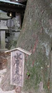 水屋の大杉(水屋神社)