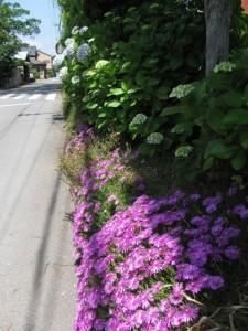 紫陽花(二見公民館付近)