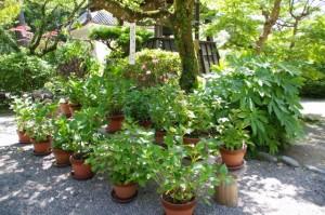 植木鉢の紫陽花(丹生大師 神宮寺)