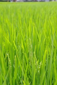 稲の花(箕曲神社付近)