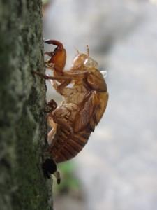 蝉の抜け殻(志宝屋神社にて)