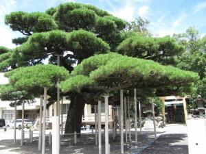 弥栄の松(日保見山八幡宮)