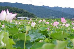 ハスの花(藤原宮跡)