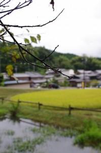 稲刈り前の「長谷の車田」