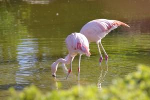 フラミンゴ(鳥羽市民の森公園)