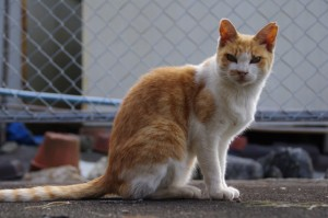 神島のネコ